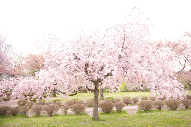 blog_cherryblossoms.jpg